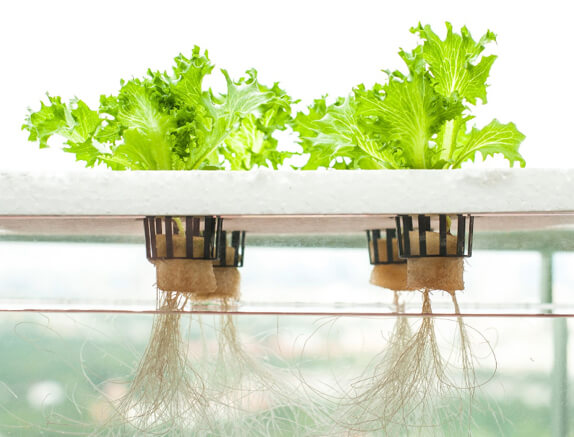 Phil Daley iceberg hydroponic plants
