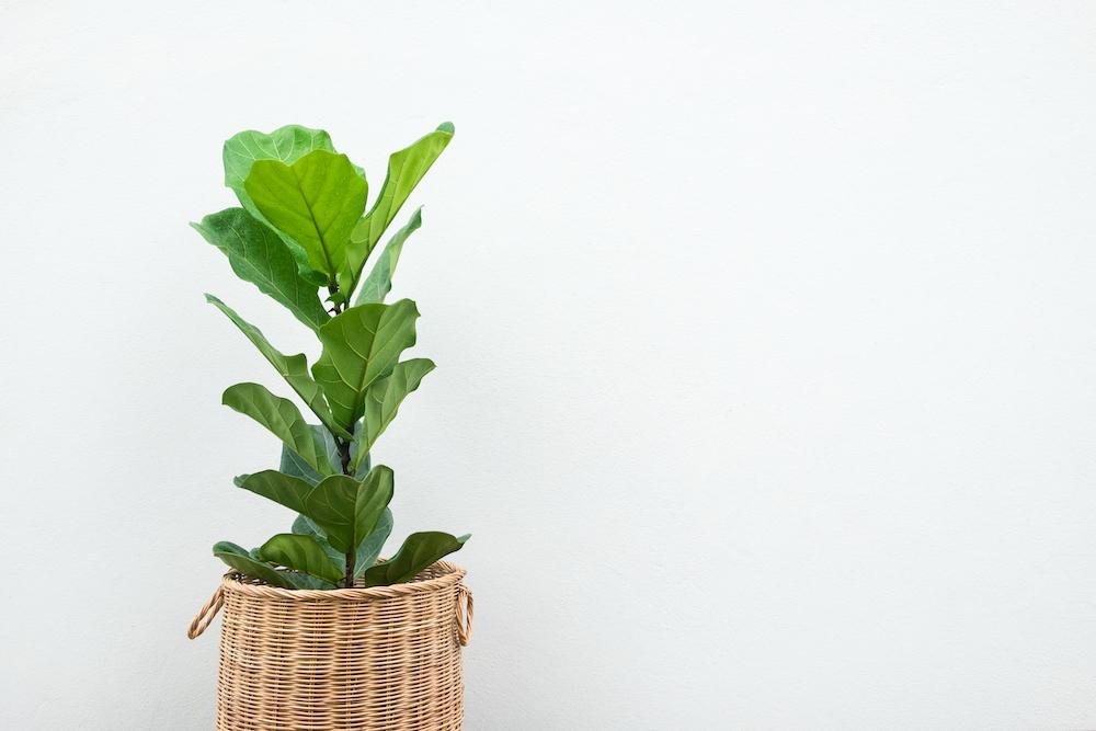 Fiddle-Leaf-Indoor-Plant