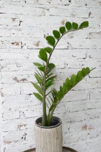 ZZ-Plant-Indoor