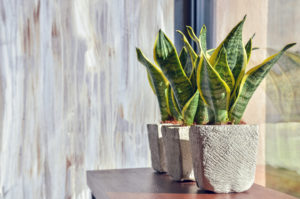 Snake-Plant-Indoor